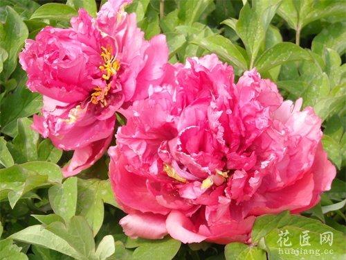 牡丹花的种植技能分享