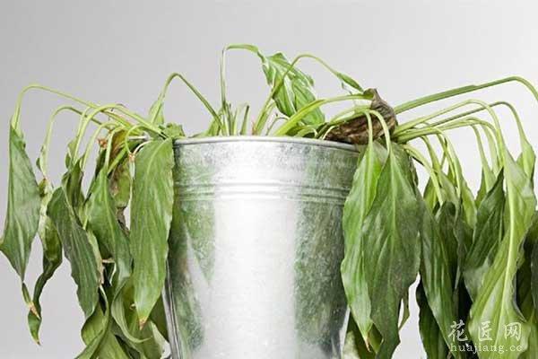盆栽花卉萎蔫的原因与补救措施