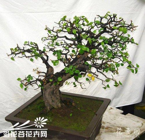 榆树盆景养护方法分享