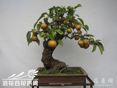 梨树盆景的制作方法