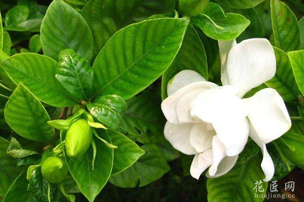 养花知识 花卉病虫害 > 栀子花落蕾的常见原因及解决办法