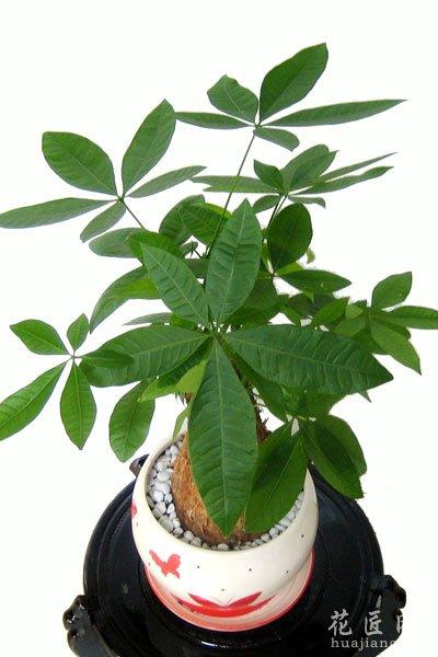 发财树的养殖方法和养护技巧