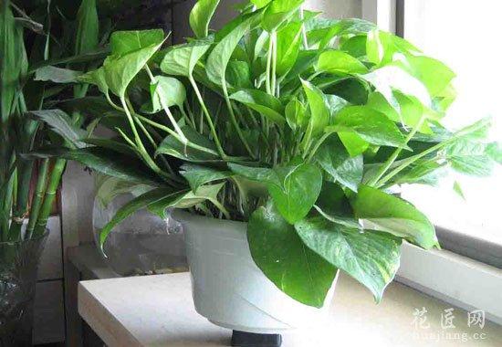 室内绿萝盆栽常见的病虫害及防治方法