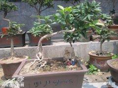 桂花盆景造型之修剪方法