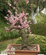 盆栽梅花不开花的处理方法