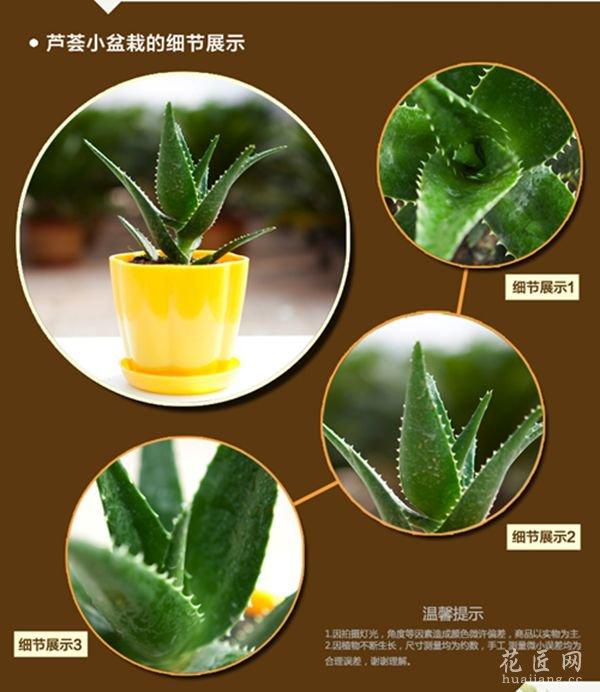 多肉观叶植物芦荟图片