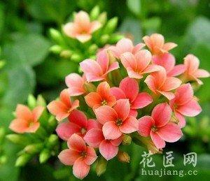 长寿花的养殖方法