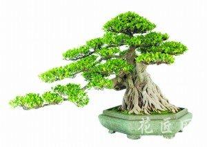 榕树盆栽的养殖方法和注意事项