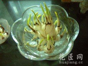 水仙花的养殖方法和注意事项