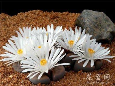 盆栽生石花图片欣赏_花匠网