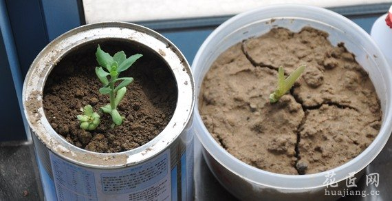 花盆土壤板结的原因