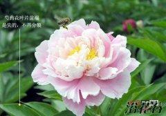 牡丹花和芍药有哪些区别(图文)