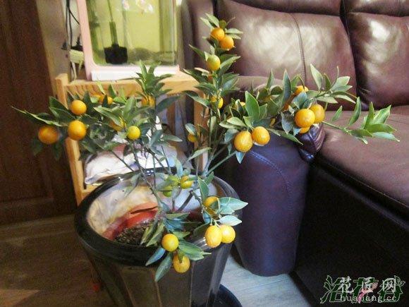 金桔树怎么养