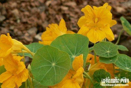 旱金莲的作用_谈花岛花卉网--养花爱好者聚集地 您好 ,欢迎光临谈花岛! 设为首页 加为收藏 首页 养花知识 植物分类