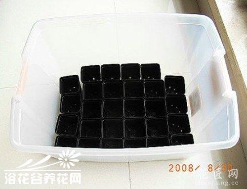 生石花播种育苗盆