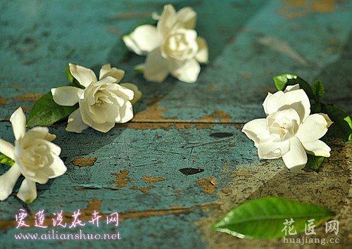 镇江香醋治栀子花黄化病