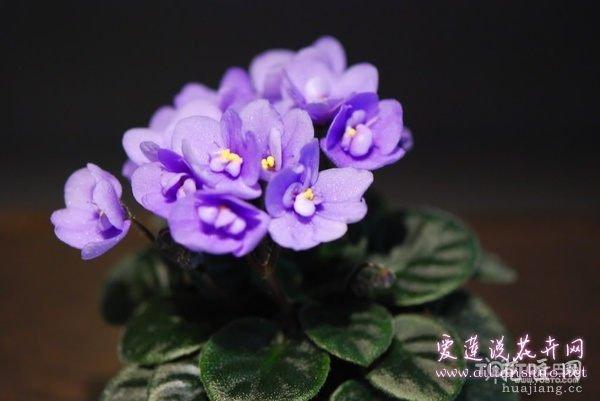 非洲紫罗兰病害防治 养护非洲紫罗兰必看