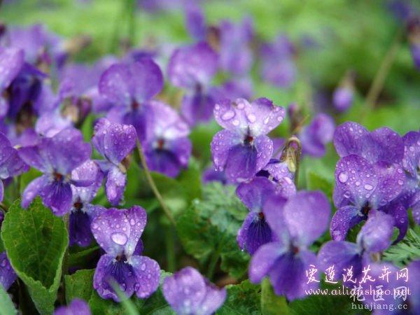 紫罗兰病虫害及解决方法 花农多年养护经验汇总