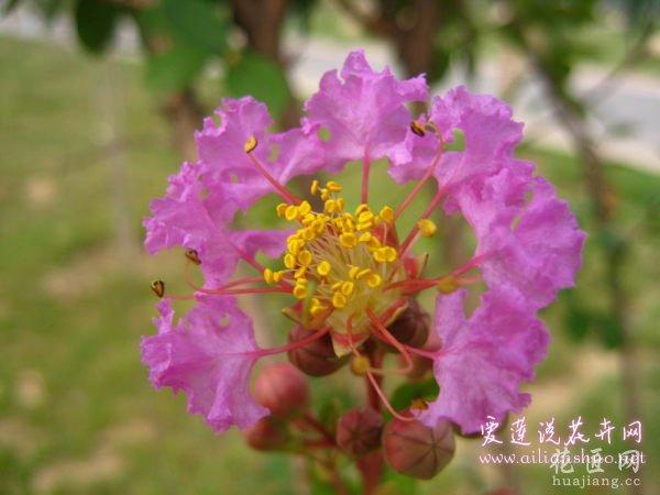 紫薇常见病虫害及解决方法 养出健康紫薇树