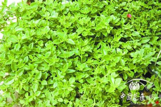 露草好看又好吃 发布: 2013-07-19 | 编辑:护花使者 | 查看: 次 露草,四季常青,青枝绿叶之间绽放着星星