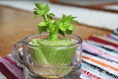 8种不断再生的蔬菜—芹菜
