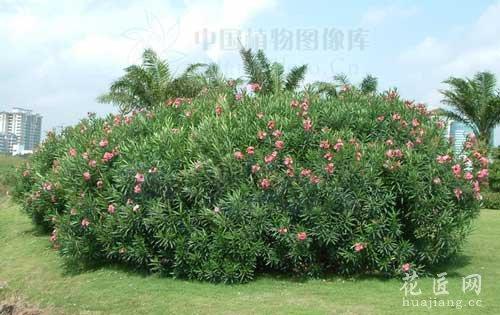 夹竹桃的繁殖方法