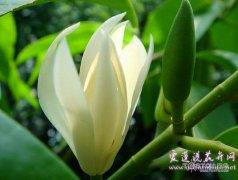 白兰花叶子发黄的原因以及解决方法