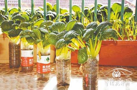 矿泉水瓶,可乐瓶用来种植小型叶菜很不错
