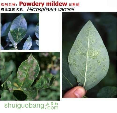蓝莓病虫害分析及防治方法