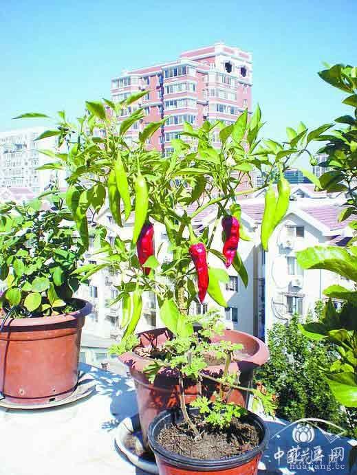 普通花盆种植红色的小辣椒多诱人!