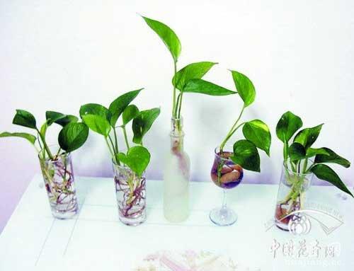 水培绿萝养殖方法