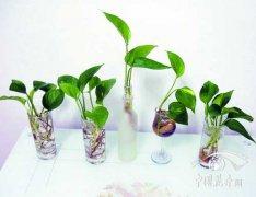 盆栽水培绿萝怎么培育?