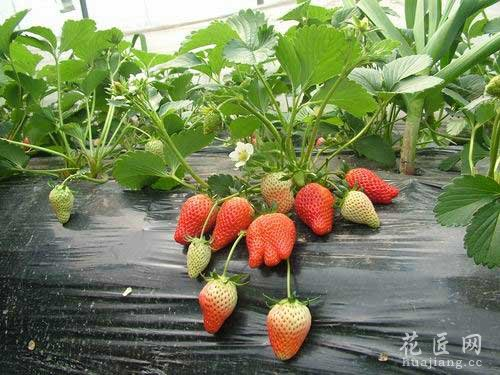 草莓常见病虫害及防治方法
