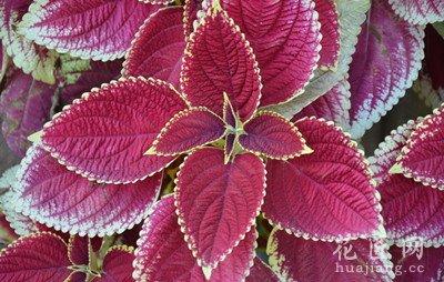 彩叶草有毒吗 发布时间:14-04-23 不知道什么时候彩叶草有毒吗成了不少花友的疑问了,每次说到植物是否有毒问题的时候