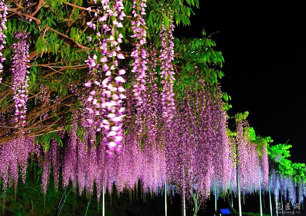 紫藤花的药用价值与膳食营养