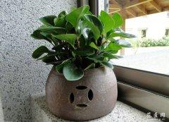餐厅放什么植物合适