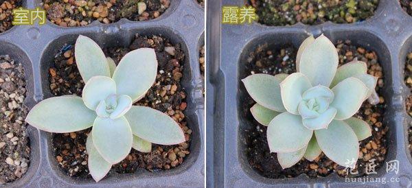 多肉植物广寒宫露养与室内养植的区别
