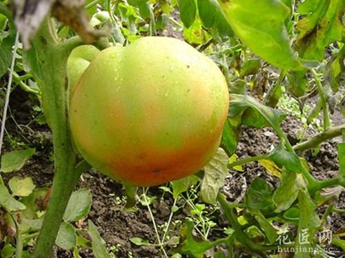 西红柿筋腐病防治技术