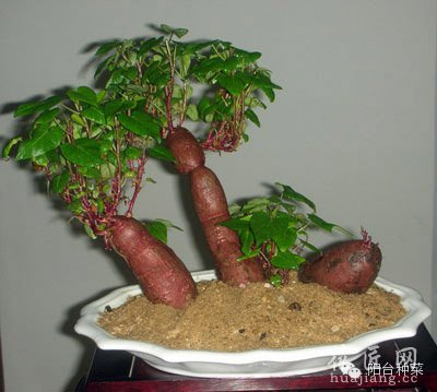红薯、地瓜、番薯盆栽