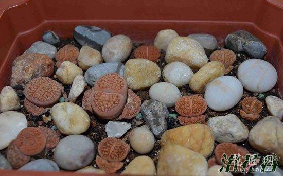 生石花种植方法(经验)
