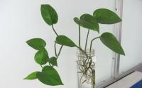 花友经验:绿萝的繁殖方法分享