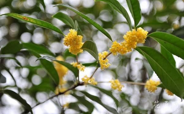 桂花图片欣赏(3)