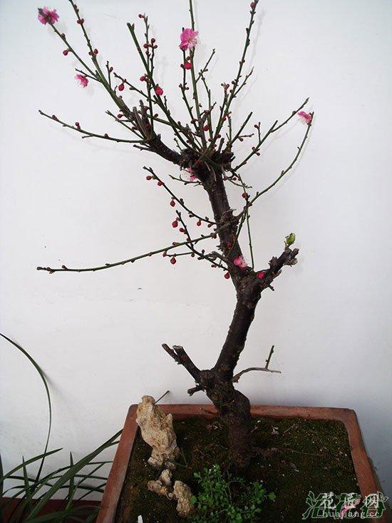 盆栽梅花怎么养