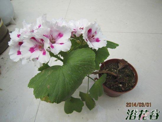 天竺葵什么时候开花