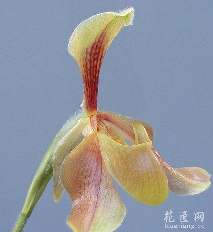 卷萼兜兰图片