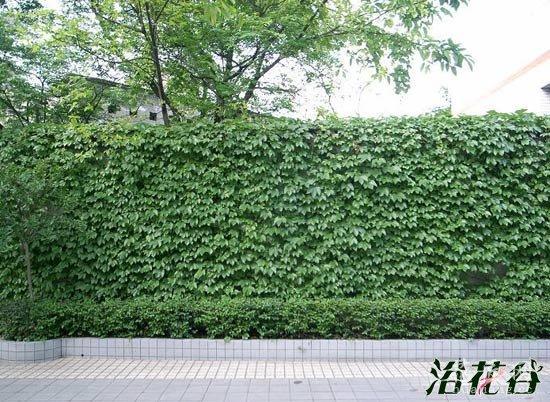 适合做围墙的植物