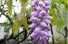 紫藤花图片欣赏