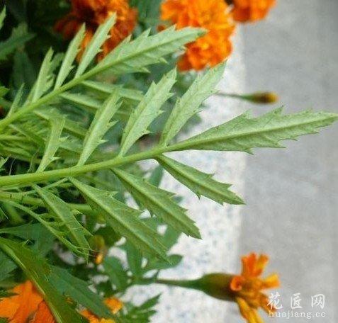 万寿菊图片