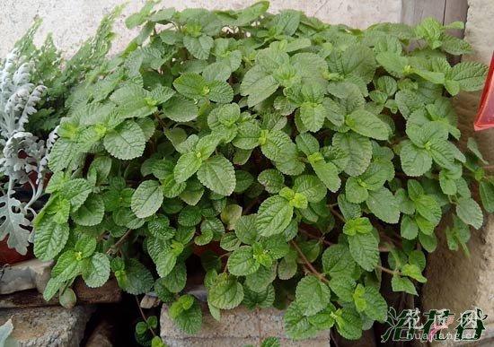 吸毒草有几种(图片)
