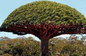 【龙血树】龙血树养殖方法_龙血树怎么养